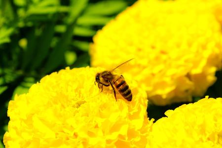 bee on flower: Bee on yellow flower