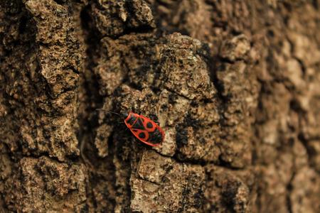 firebug: Bugner