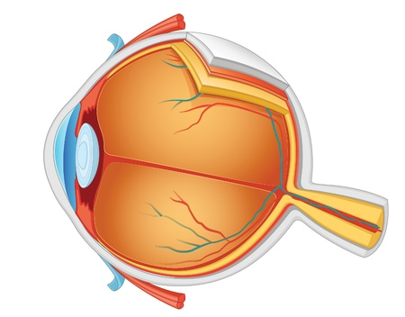 nerve: Eye anatomy vector illustration