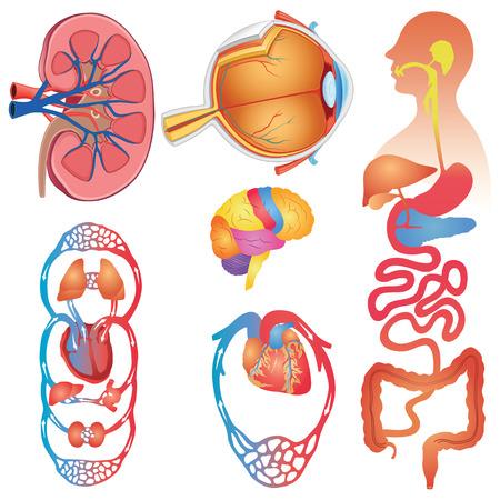 Human Body Parts Set Vector