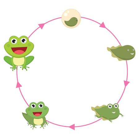 metamorphosis: The Life Cycle Of Frog Vector Illustration