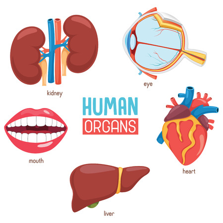A Vector Illustration Of Human Organs isolated on plain background.