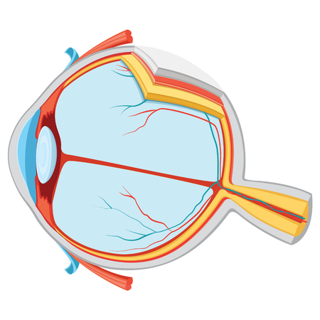 A Vector Illustration Of Eye Anatomy isolated on plain background. Illustration