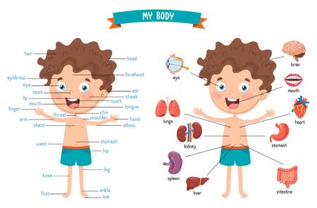Vector illustratie van het menselijk lichaam