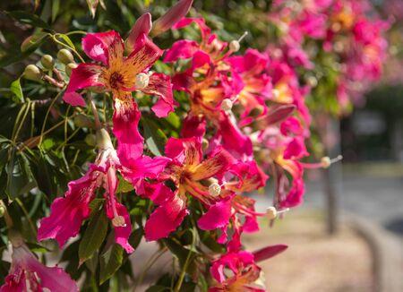blühender Baum mit fuchsiafarbenen Blumen und der Sonne