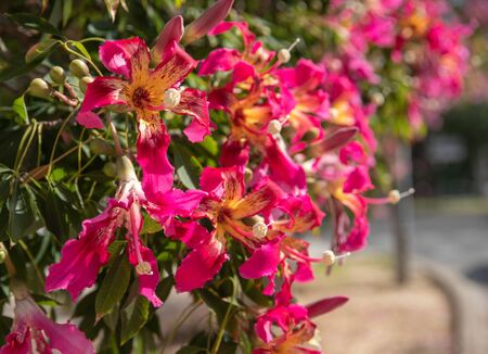 flowering tree with fuchsia flowers and the sun