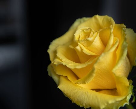 yellow rose flower, with water drops, isolated, dark background
