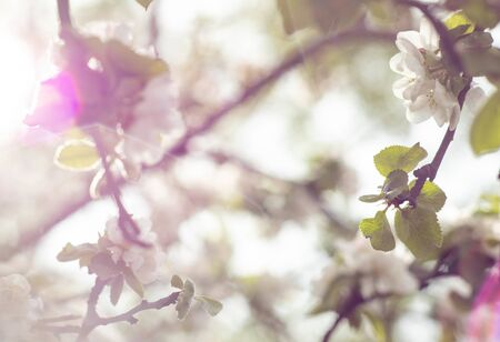 spring white flowers blooming apple trees on a blue background Stok Fotoğraf