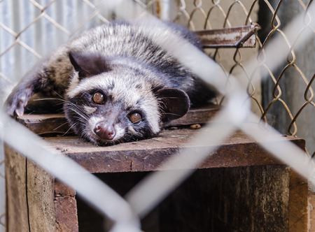 bearcat: civet in cage is Refreshing sleep and moody. Stock Photo