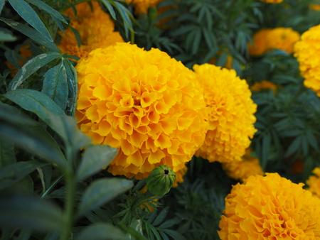 Marigold  Standard-Bild
