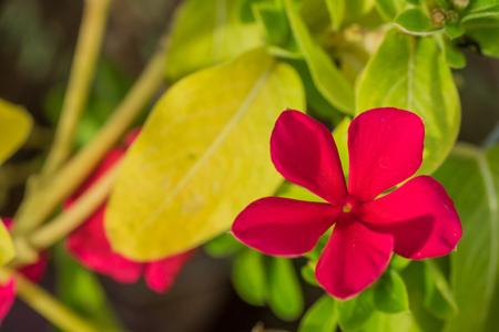 Portulaca oleracea Flower Imagens