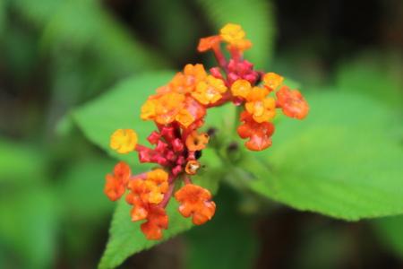 lantana camara: Lantana Camara Flower Stock Photo