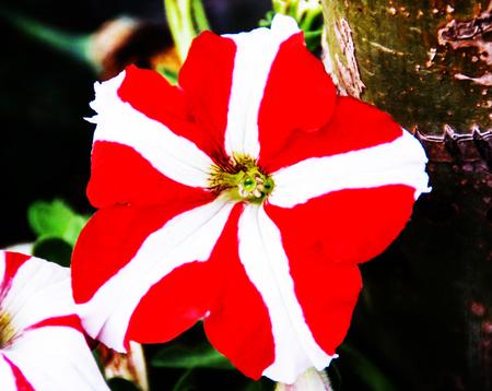 hybrida: Petunia hybrida