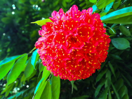 Rose of Venezuela