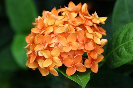 Ixora,Ixora chinensis Lamk. Ixora spp,West Indian Jasmine Stock Photo