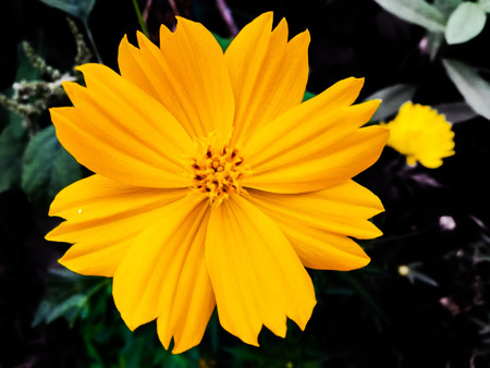 Cosmos sulphureus is also known as sulfur cosmos and yellow cosmos. It is native to Mexico, America, Europe, Asia, and Australia
