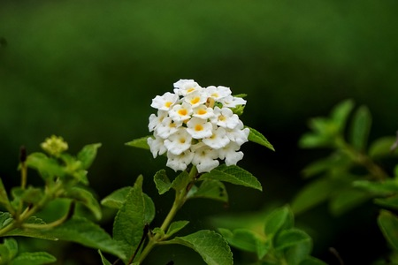 lamiales: Lantana camara, also known as big-sage, wild-sage, red-sage, white-sage and tickberry  is a species of flowering plant within the verbena family, Verbenaceae, that is native to the American tropics