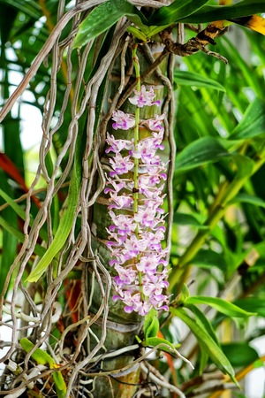 differs: Rhynchostylis differs from Vanda by the one-lobed lip. Rhynchostylis are also commonly called foxtail orchids because of their long, thin, densely packed inflorescences Stock Photo