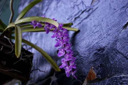 differs: Rhynchostylis differs from Vanda by the one-lobed lip. Rhynchostylis are also commonly called foxtail orchids because of their long, thin, densely packed inflorescence