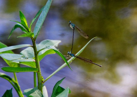 elegans: Damselflies are insects of suborder Zygoptera in the order Odonata. They are similar to dragonflies