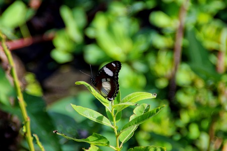 polymorphism: Hypolimnas misippus, the Danaid eggfly, mimic, or diadem, is a widespread species of nymphalid butterfly. It is well known for polymorphism and mimicry.