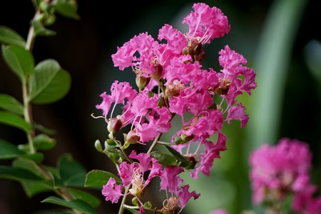 Lagerstroemia Indica uses fresh boiled flowers to eat the whole residue. Bleeding after birth Dried flower powder Mixed vinegar, pox,.Fresh or dried flowers boil to cure gonorrhea, ulcer, ringworm