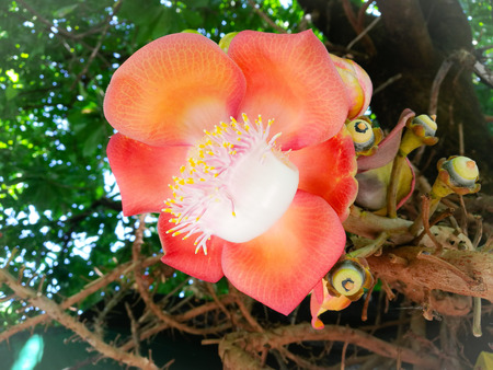 Couroupita guianensis, known by a variety of common names including cannonball tree, is a deciduous tree in the family Lecythidacea Kho ảnh
