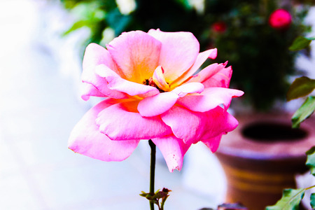 Roses are often blooming in the winter male lovely mood for lover Stock Photo