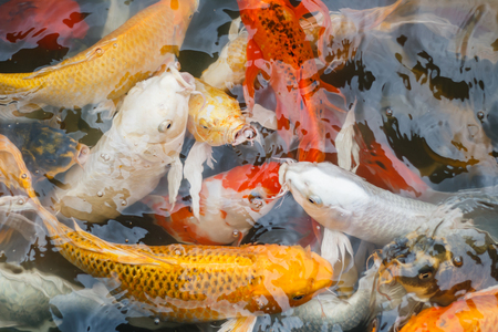 known: Colorful fish or CARP or fancy carp, also known as fancy carp, black carp. Or carp IX. A freshwater fish of the carp.