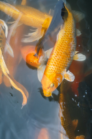freshwater: Colorful fish or CARP or fancy carp, also known as fancy carp, black carp. Or carp IX. A freshwater fish of the carp.
