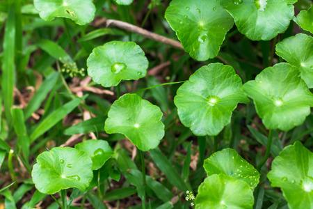 longevity medicine: Gotu kola, Asiatic pennywort, Indian pennywort with water drops