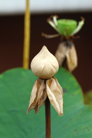 dry lotus flower close up photo