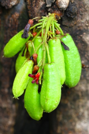 bilimbi: Averrhoa bilimbi fruits