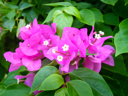 color bougainvillea: Bougainvillea (Bougainvillea glabra), bougainvillea flowers in rainforest, close-up, macro.