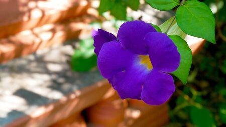 Purple flower in the garden.