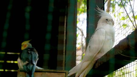 The white parrot and friend are lonely in the cage.