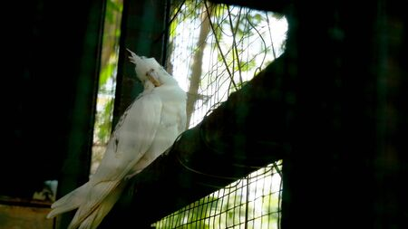 The white parrot is lonely in the cage.