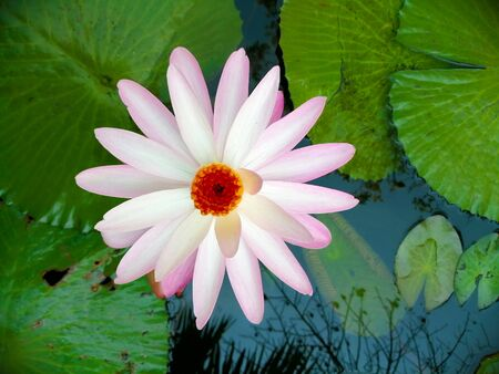 Light pink lotus in the pond. Imagens