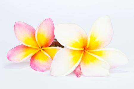 Frangipani, Pumeria, Frangipanni, isolated on white background
