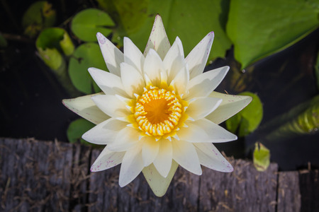 Beautiful white lotus is blooming in the pond on a calm day with very soft light