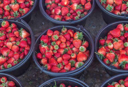 Fresh strawberry on plastic bucket.