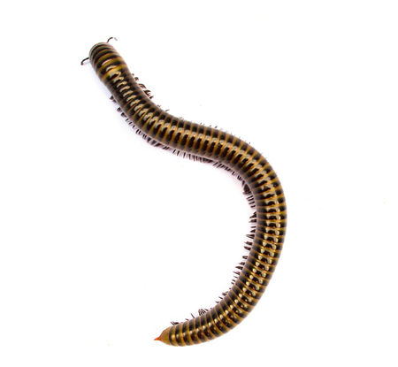 Millipede top view isolate on white background