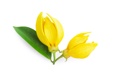 Top view Ylang-Ylang flower,Yellow fragrant flower on white background. Banco de Imagens