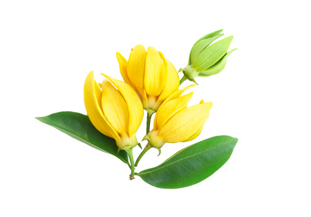 Closeup Ylang-Ylang flower,Yellow fragrant flower on white background. Archivio Fotografico