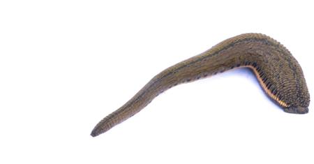 Leech isolated on white background.