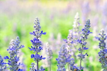 lavender flower in graden