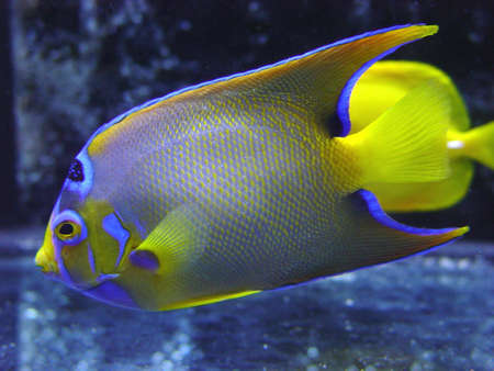 ocellatus:  Tropical Fish