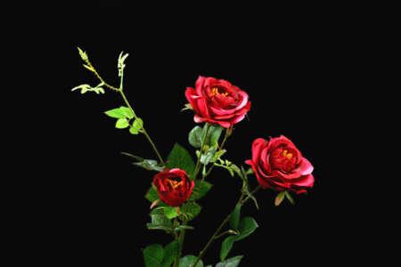 Red rose on black background