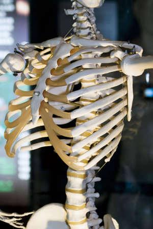 nightmarish: Model of human skeleton in laboratory used for teaching Stock Photo