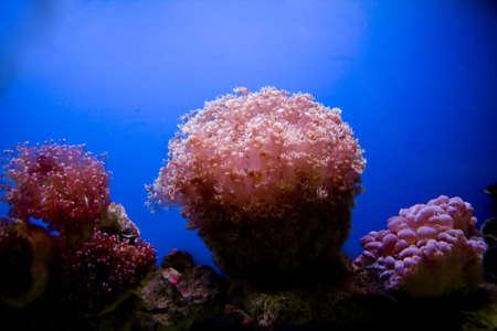 polyps: Beautiful coral in a sea aquarium